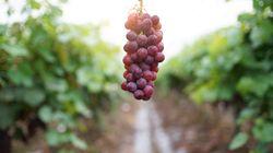 Do coração à pele: 5 benefícios da uva que vão te