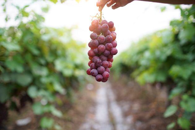 5 benefícios da uva para saúde que vão te