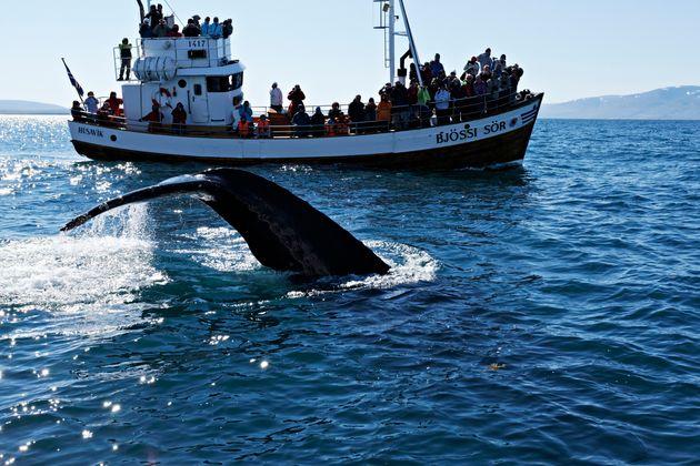 Έγκλημα: Γιατί η Ισλανδία ανακοίνωσε ότι θα σκοτώσει 2.000 φάλαινες