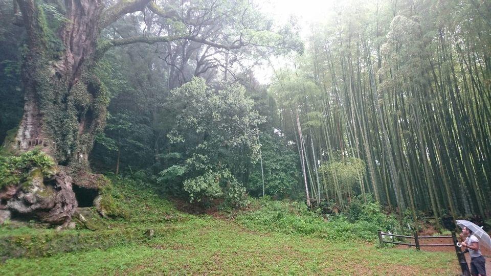Arbre millénaire au sanctuaire de Takeo au