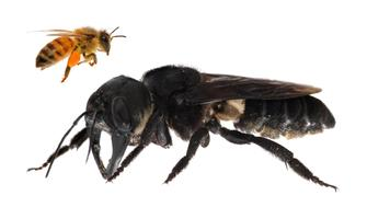 One of the first images of a living Wallace's giant bee. Megachile pluto is the world's largest bee, which is approximately 4x times larger than a European honey bee. (Composite). Photo by Clay Bolt.