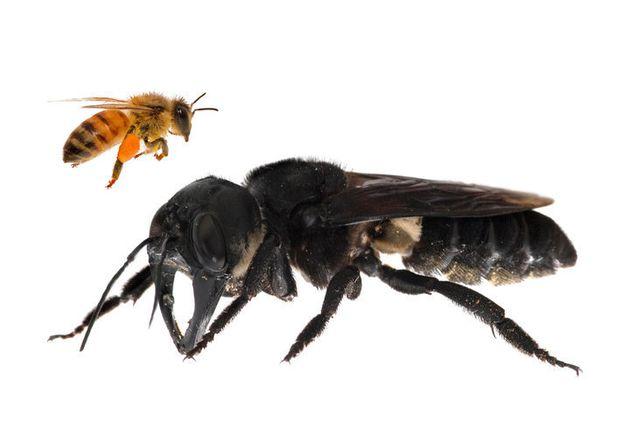 生きたウォレス巨大蜂の初公開写真のうちの1枚。左に写るヨーロピアン・ミツバチの約4倍のサイズ
