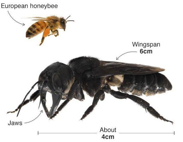 Η μεγαλύτερη μέλισσα του κόσμου εντοπίστηκε 37 χρόνια
