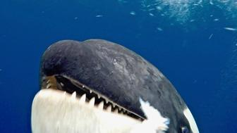 Killer whale head-butt's scientist's camera