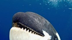 Killer Whale Head-Butts Scientist's Camera And She's Just