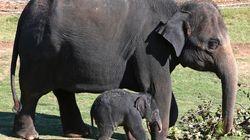 Η χώρα που θα επιτρέπει να γίνεται το κρέας του ελέφαντα τροφή για