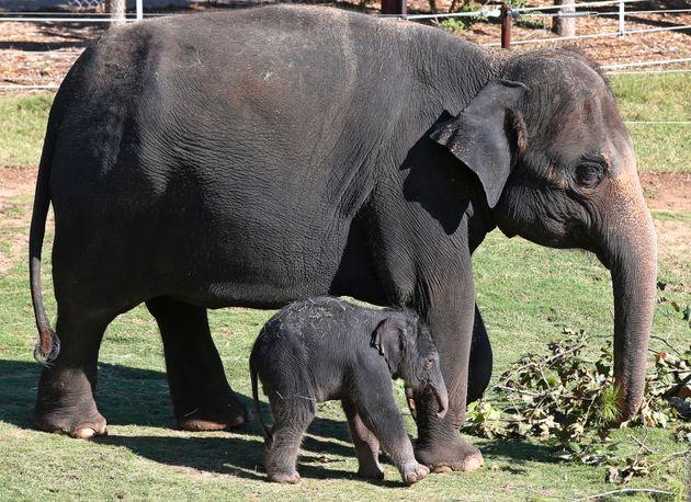 Η Μποτσουάνα θα επιτρέπει να γίνεται το κρέας του ελέφαντα τροφή για