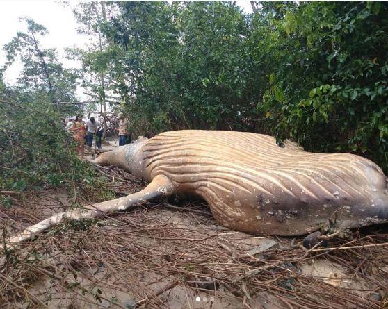 아마존 정글에서 혹등고래 사체가