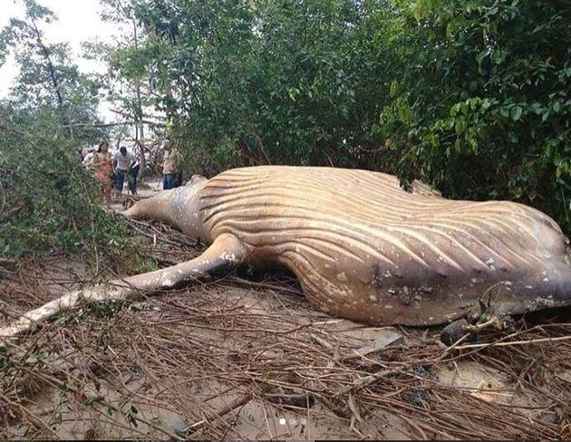Πώς μια νεαρή φάλαινα πέθανε στη ζούγκλα του