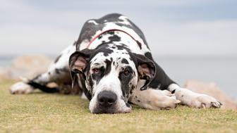 Great Dane resting.