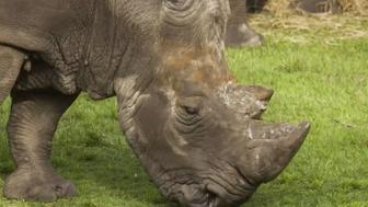 Archie the rhino at Jacksonville Zoo