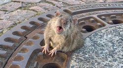 Fabulously Fat Rat Rescued After Getting Stuck In Manhole