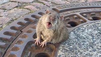 fat rat