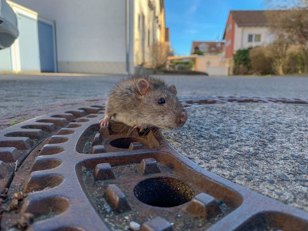 하수구 맨홀에 몸이 끼어버린 쥐를 구조한 사람들(사진,