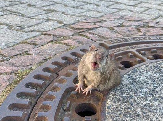マンホールの蓋の穴にハマったネズミ