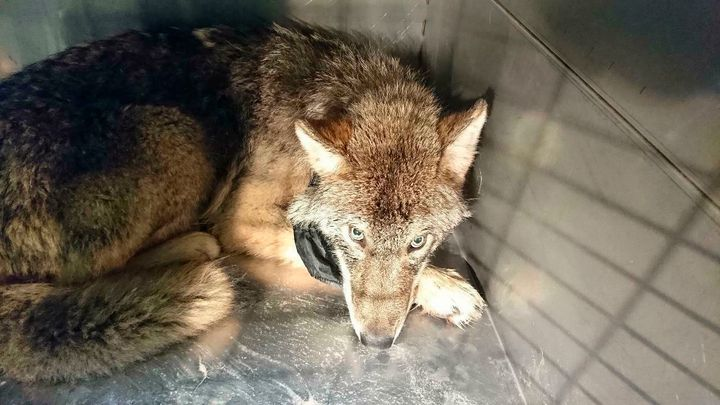 The wolf, suffering from shock and hypothermia, was taken to an animal shelter near Parnu River, Estonia. He was later r