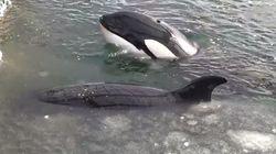 Η Ρωσία απελευθερώνει τις 100 φάλαινες που ήταν αιχμάλωτες σε πλωτά