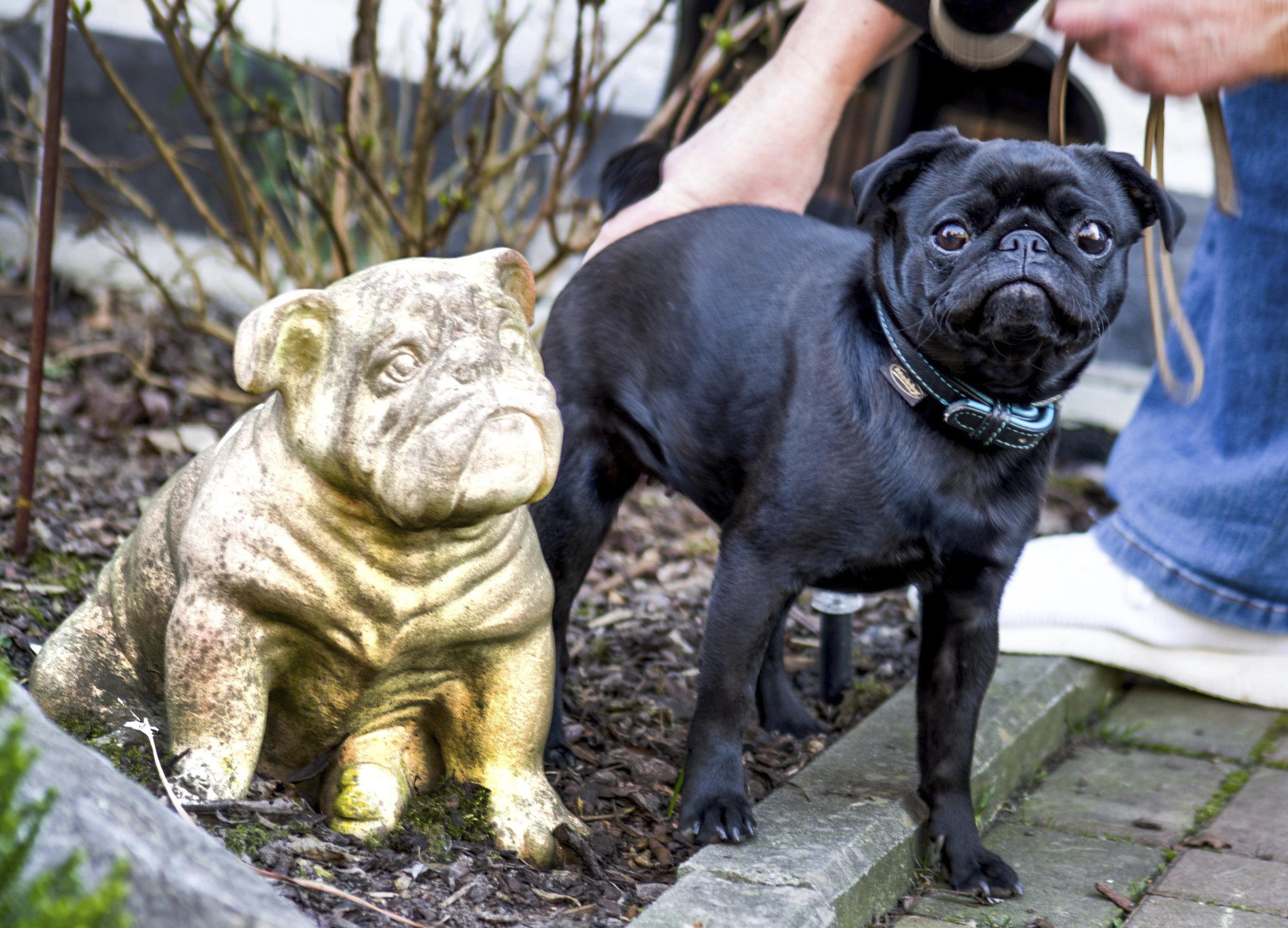 Edda the pug.