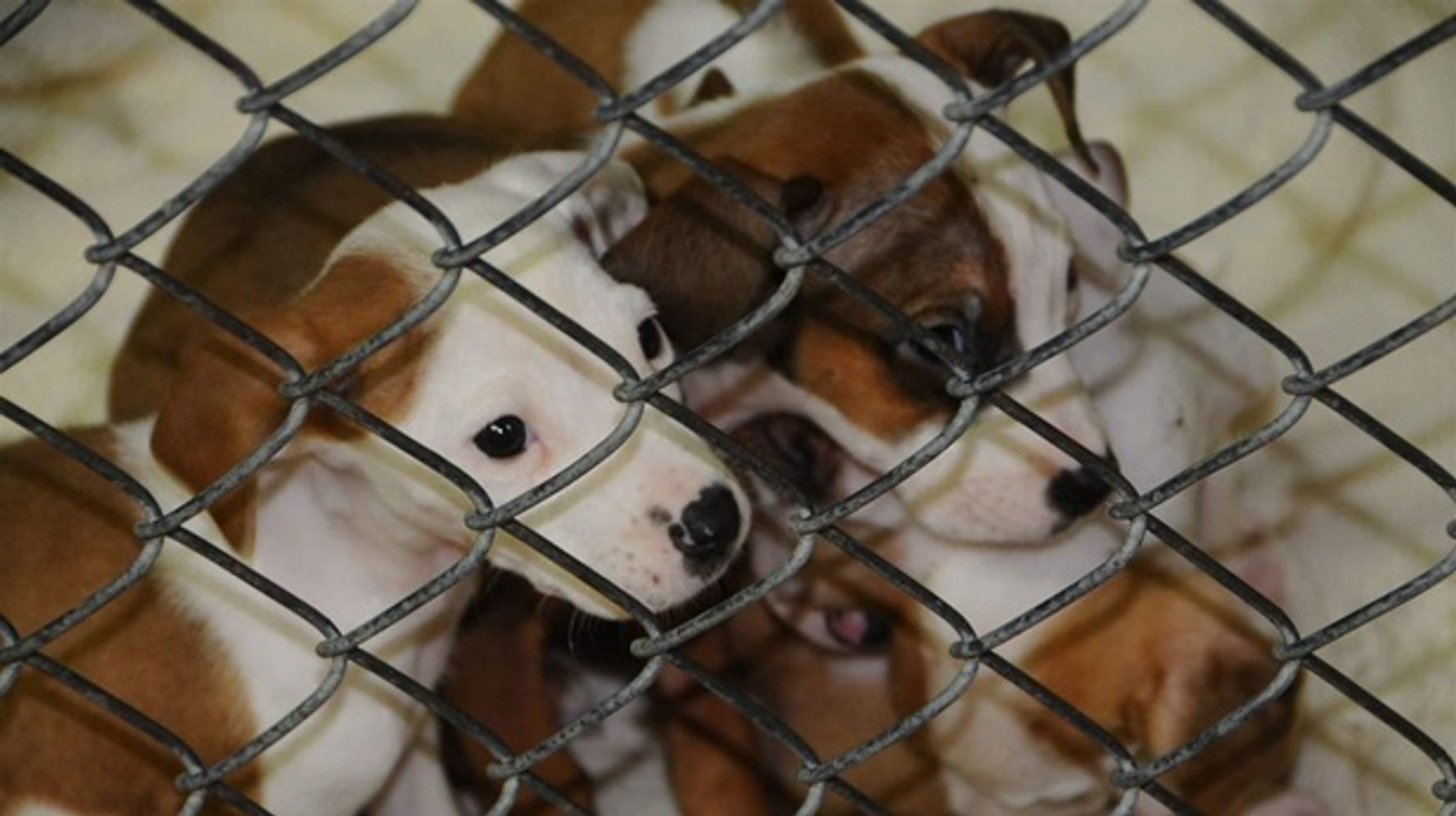How To Save Rescued Puppies Ship Them North Huffpost