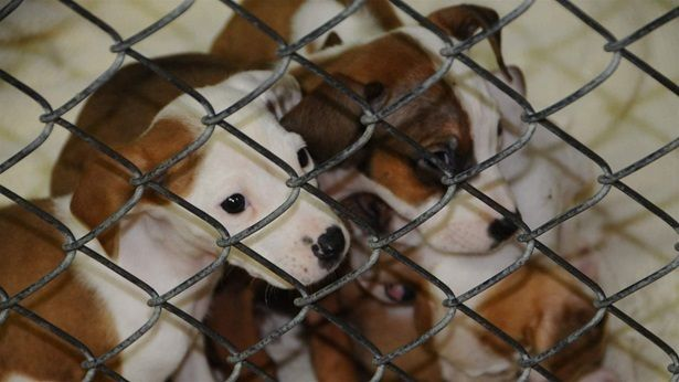 Puppies born to a stray dog at the Oktibbeha County Humane Society animal shelter in Starkville, Mississippi. The society is