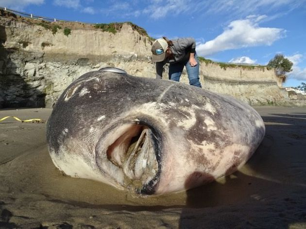 Der riesige Fisch am Strand von Santa Barbara in