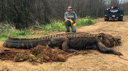 This Alligator Found In Ditch Was So Large People Thought It Was