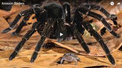 Δείτε μία τεράστια αράχνη να καταβροχθίζει ένα οπόσουμ - αν