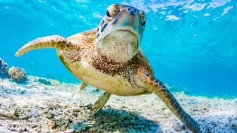 Beautiful Underwater photography of a Green Turtle