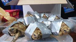 필리핀 공항에서 1,500마리의 거북이가 든 캐리어가