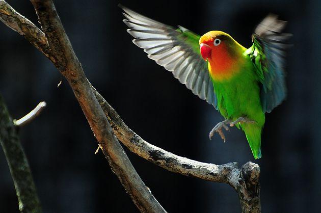 Εθισμένοι παπαγάλοι σπέρνουν τον πανικό σε καλλιέργειες οπίου και