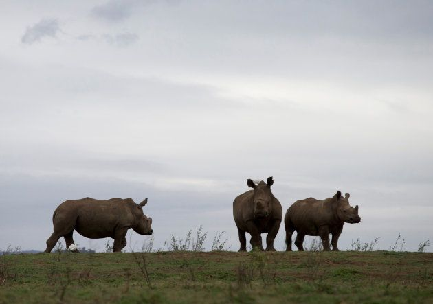 Rhinos are seen in the Pongola Nature Reserve in Jozini, South Africa, October 27, 2017. REUTERS/Rogan