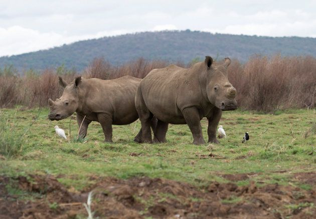 Rhinos graze in the Pongola Nature Reserve in Jozini, South Africa, October 27, 2017. REUTERS/Rogan