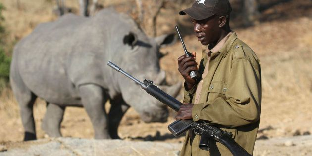 An armed ranger talks on his radio in front of a white rhinoceros at the Imire Rhino and Wildlife Conservation...