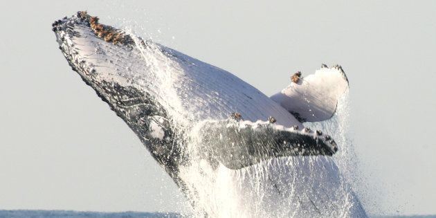 A humpback whale breaches off the coast of
