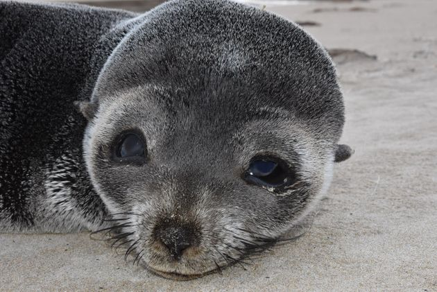 Cute! Baby Sub-Antarctic Fur Seal Spotted Having A Snooze On The