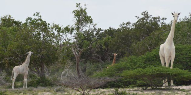 WATCH: Rare White Giraffes Spotted In