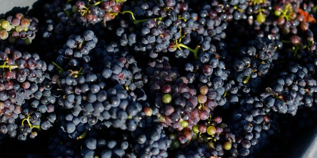 A box with grapes is pictured at a vineyard during the traditional Champagne wine harvest in Ay, France,...