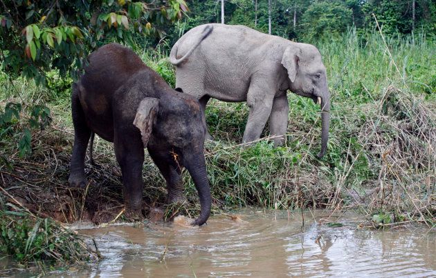Borneo pygmy elephants drink water from Kinabatangan river in Malaysia's state of Sabah in February