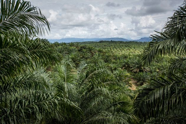 A view of one of the many palm oil plantations that have replaced Borneo's native forest, rendering it...
