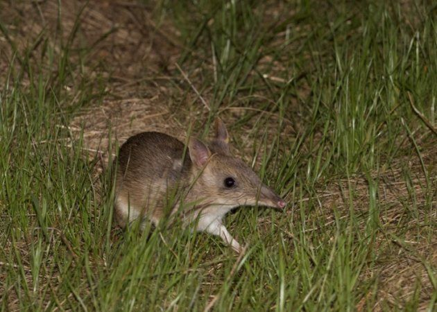 Since Februry, 19 baby eastern barred bandicoots have been born through the genetic rescue