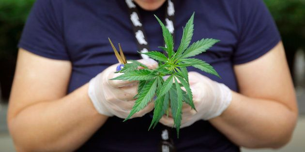 Section grower Morgan Blenk inspects a marijuana plant clone before planting it at Tweed Marijuana Inc....