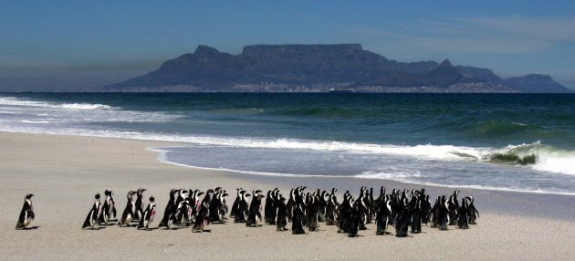 A group of about 100 African penguins were released into the sea near Cape Town in September 2005 after...