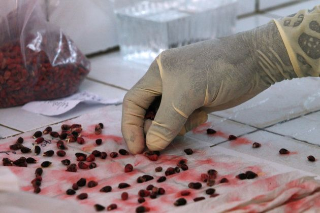 A man works on cotton seeds inside a laboratory at Sofitex, Burkina Faso?s biggest cotton company, in...