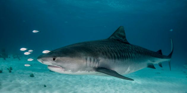 A large tiger shark side view taken off Grand Bahama Island in the
