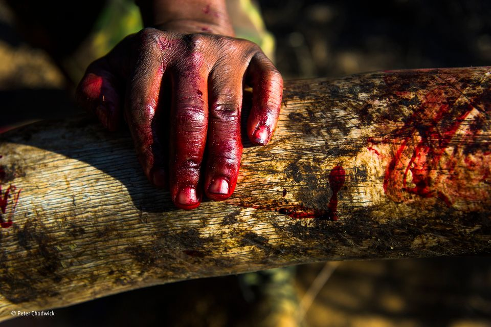 Africa's Wildlife Warriors - Blood Ivory. A rangers hand covered in the blood of an African Elephant...