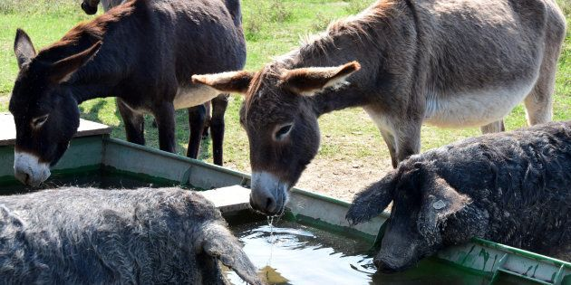 From Beast Of Burden To A Delicacy – Donkeys Are