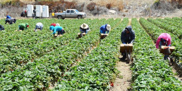 Seasonal farm workers pick and package strawberries. June 30,