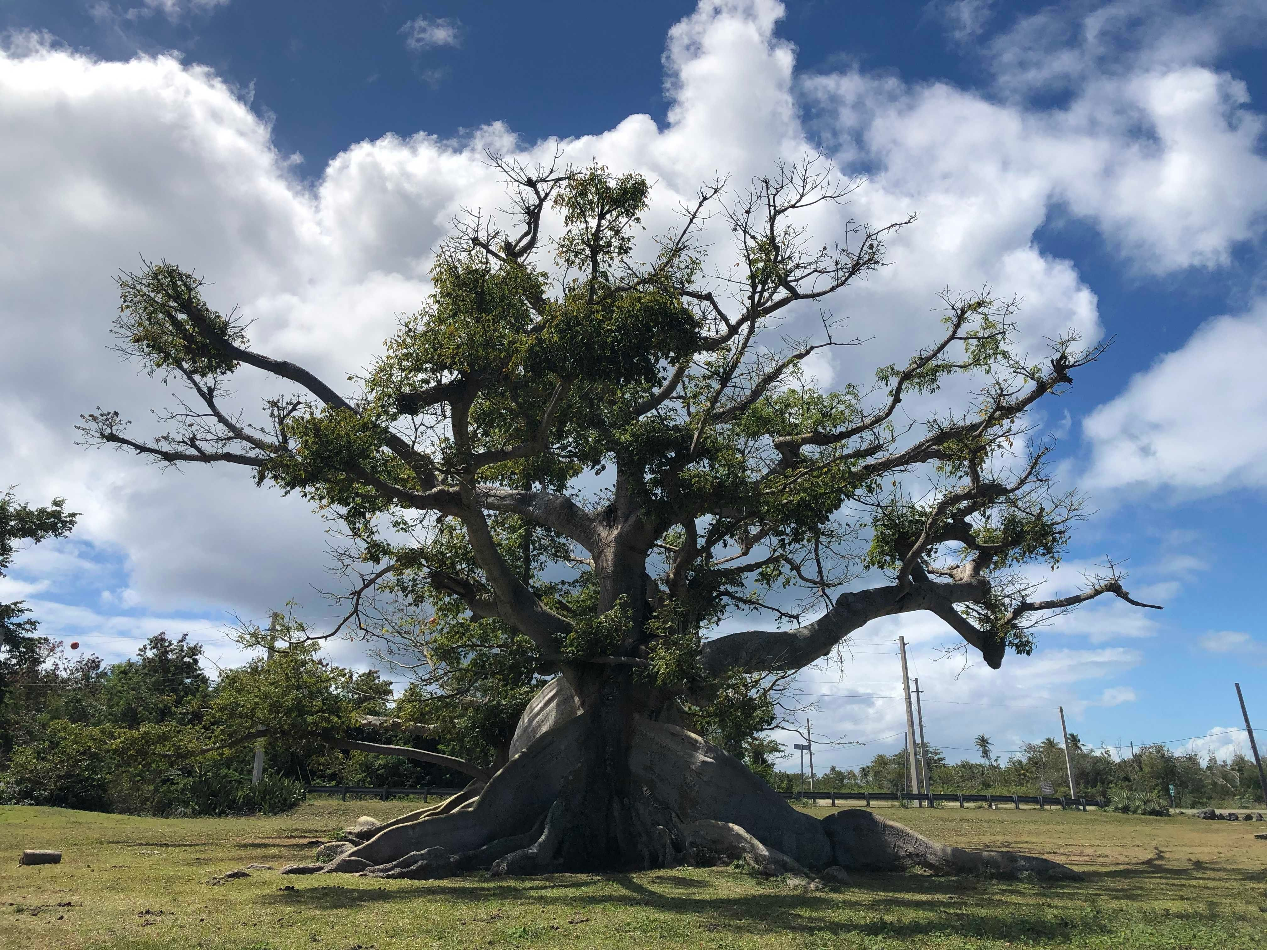An Ancient Ceiba Tree Blooms Once Again After Puerto Rico's Devastating