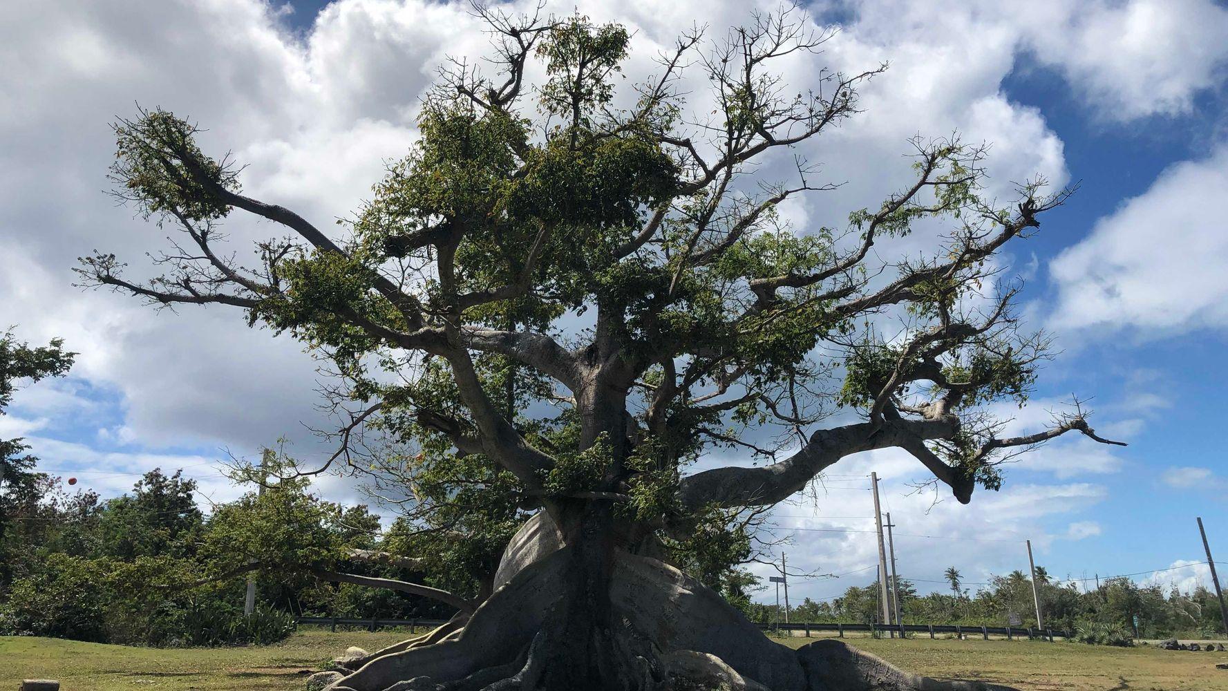 деревья южной америки фото целиком