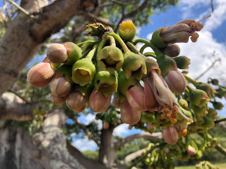 Blossoms on Vieques' famous ceiba tree are seen closed in the afternoon sun on a Monday in late February.